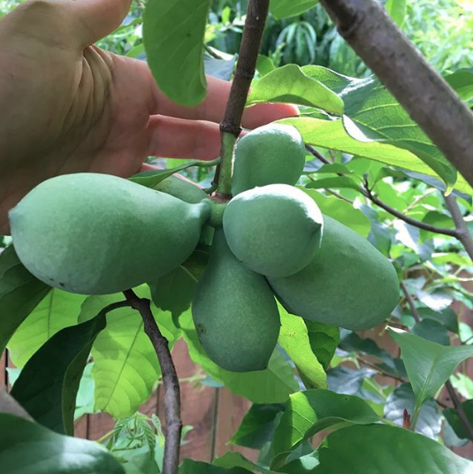 Ripe pawpaw fruit smells and tastes amazing. To get them perfectly ripe, let the fruit fall to the ground rather than picking them off the tree.