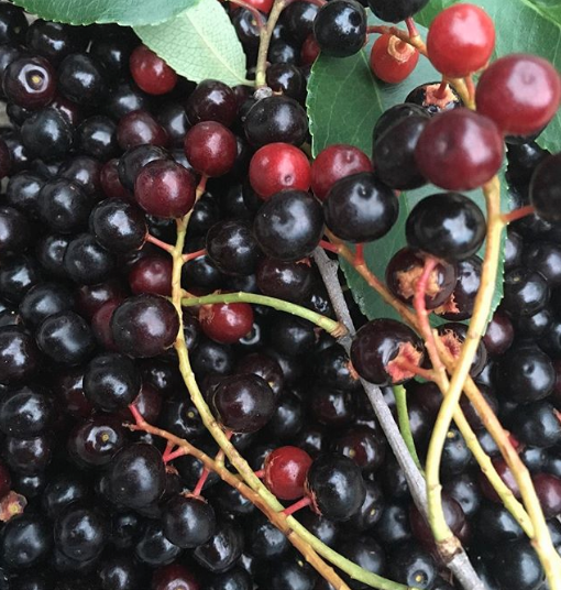 Wild black cherries (Prunus serotina).