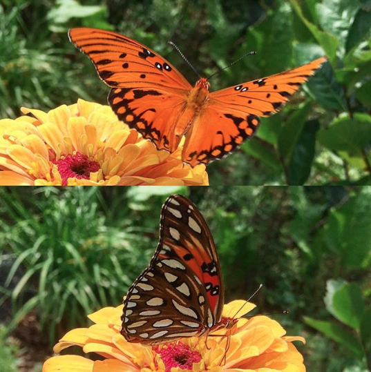 Gulf fritillaries are one of many species of butterflies that love foraging on zinnia flowers.
