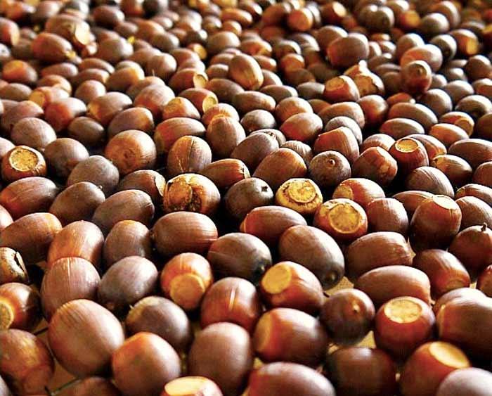 white oak acorns, how to make acorn flour