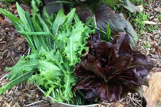Top 10 Garden Plants For Chickens and Ducks: There is a huge amount of diversity in the size, shape, color, and taste of various chicory varieties. We've grown dozens of varieties and our ducks like them all, even when they're going to bolt and turn very bitter.