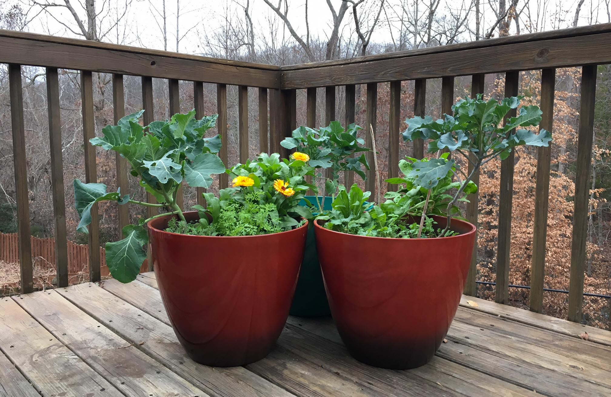 We also like to grow cool weather crops in containers throughout the winter. Seeing calendula flowers and green brassicas growing on our back porch on a dreary winter day helps brighten our moods - and put good food on the table. If temps drop too low, we can temporarily bring the pots indoors until it warms back up. Container gardening questions answered.