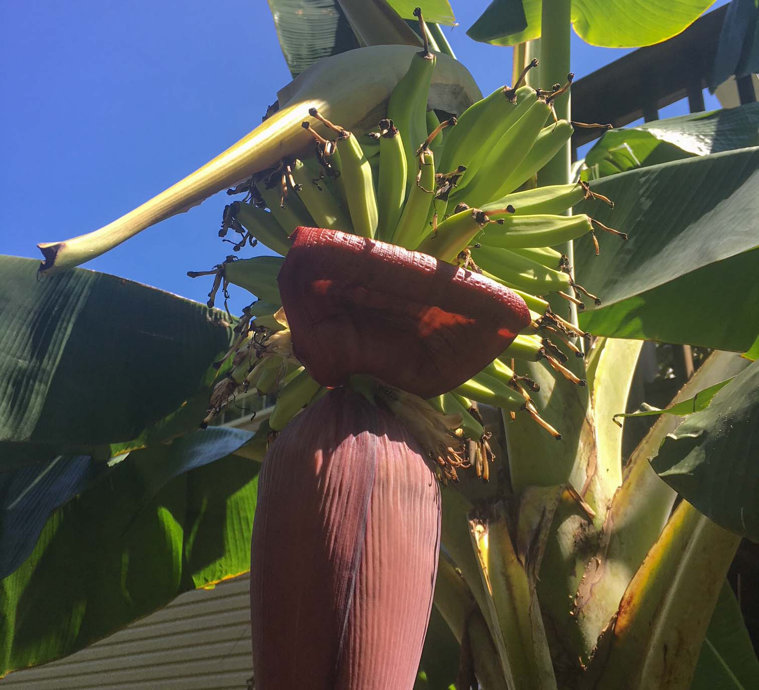 Potted bananas ripening in Ag Zone 7B! There's no way we could successfully grow bananas without container gardening.