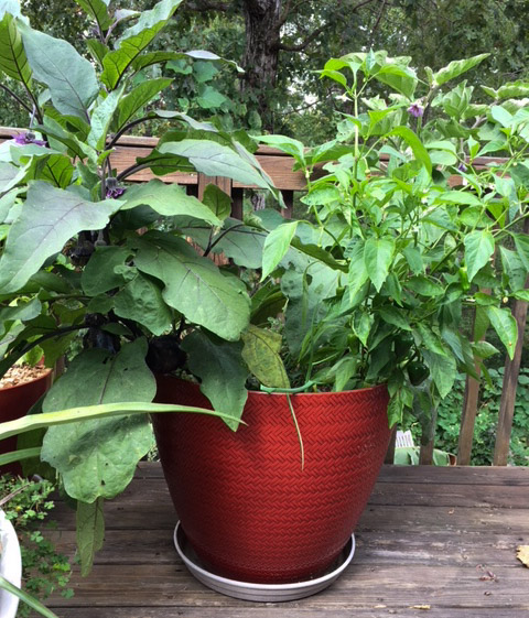 Eggplant and pepper plants growing on our back deck in a pot. Container gardening questions