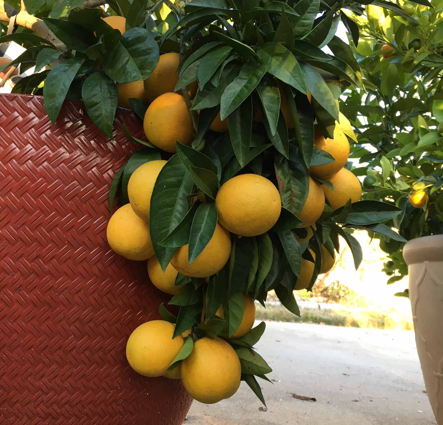 Moro blood oranges about 6 weeks from becoming ripe. If we didn't container garden, we wouldn't get organic, tree-ripened citrus throughout the year. Container gardening questions answered.