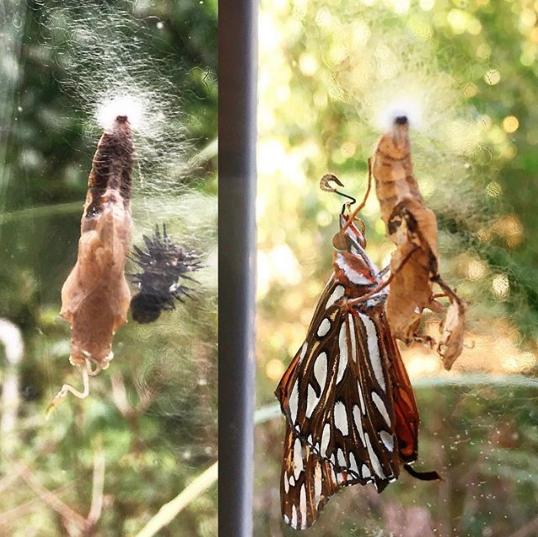 Gulf fritillary butterfly emerging.
