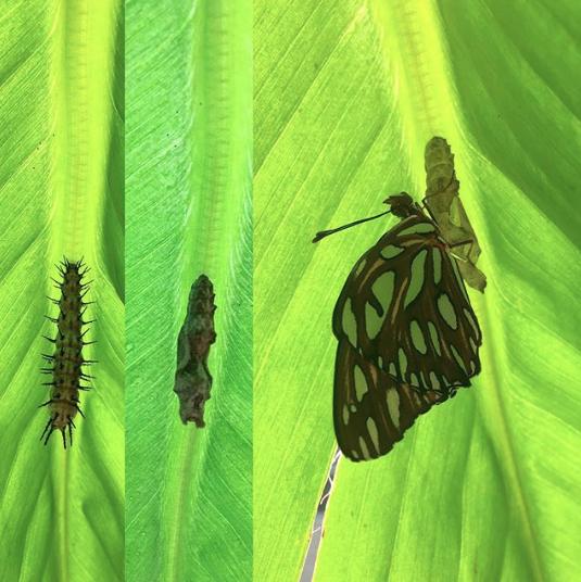 gulf fritillary butterfly metamorphosis