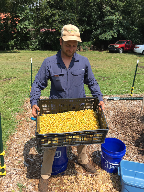 Our friend Chris Miller from Yeah That Garden Guy holding 10 pounds of freshly picked and husked ground cherries from the field at Oak Hill Cafe & Farm.