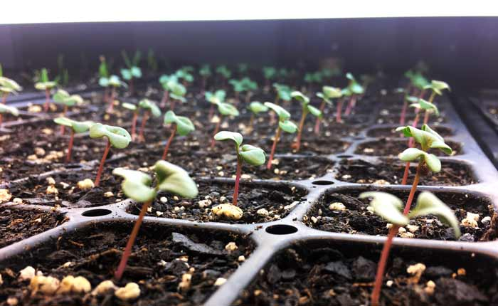 Purple sprouting broccoli seedlings under our DIY grow light system. These are being grown to develop into mature plants, but this is the developmental stage when they'd be used as microgreens. Microgreens are sown densely in seed flats, not individual seed cells.