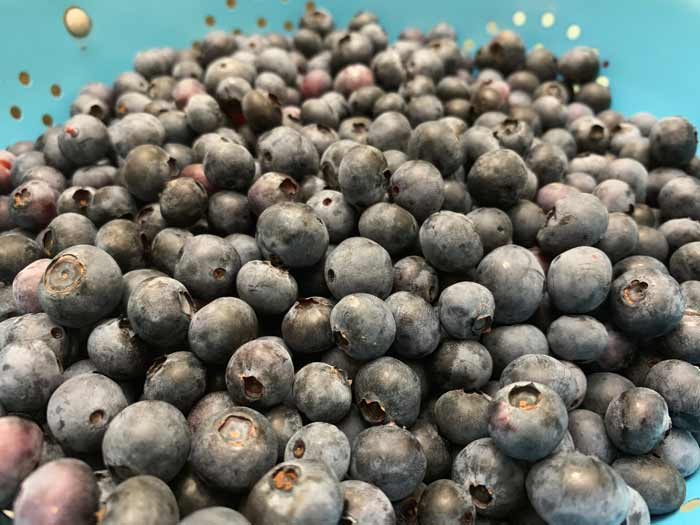 There are lots of early, mid, and late season highbush blueberry varieties, and we recommend mixing it up so all your blueberries don't come in at once, making harvesting them all overwhelming. How to grow year round fruit.