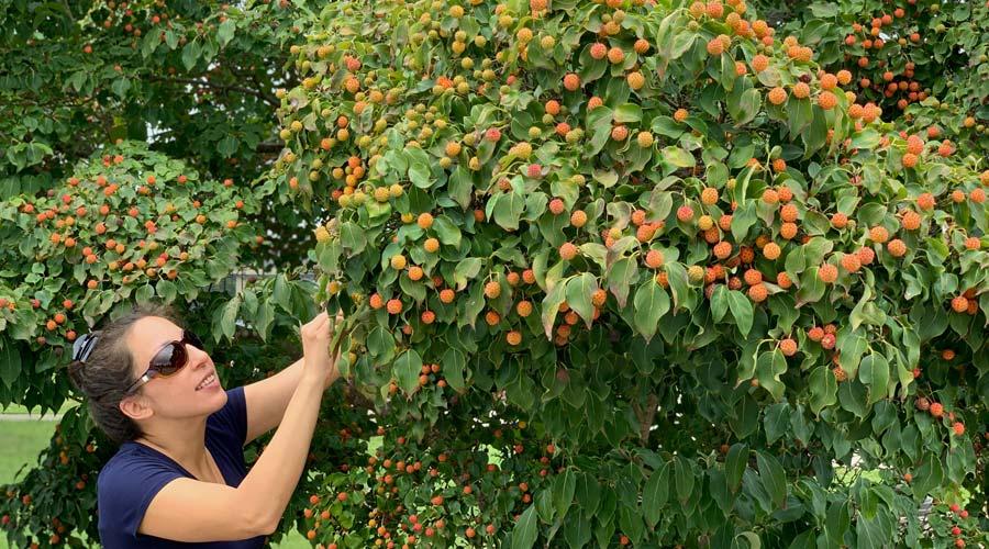 Introducing Kousa dogwood (Cornus kousa), the edible dogwood thumbnail