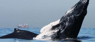 Whale Season Begins in Puerto Vallarta