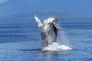 El Pacifico vallecaucano se prepara para recibir a las ballenas jorobadas