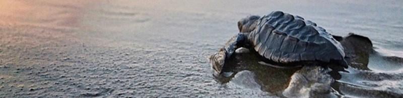 Ecotourisme à Puerto Vallarta: saison de libération des tortues de mer