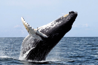 Marvel at the fascinating humpback whales!