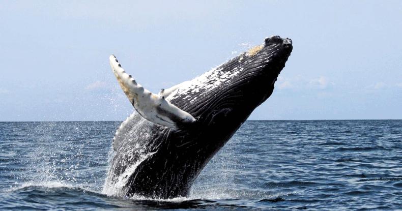 ¡Asómbrate con las fascinantes ballenas jorobadas!
