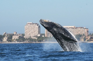 Whale Watching Puerto Vallarta