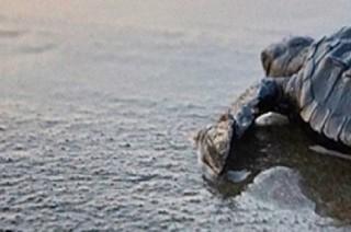 Ecoturismo en Puerto Vallarta: temporada de liberación de tortugas marinas