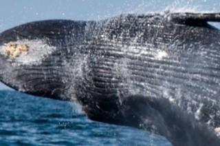 Qué hacer en Puerto Vallarta: asómbrate con las fascinantes ballenas joroba