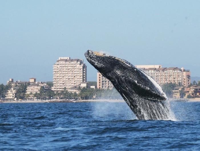 Whale Watching Puerto Vallarta