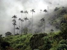 Valle De Cocora - Camino De Los 4 Bosques