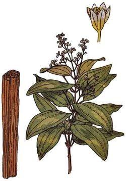 cinnamon plant picture