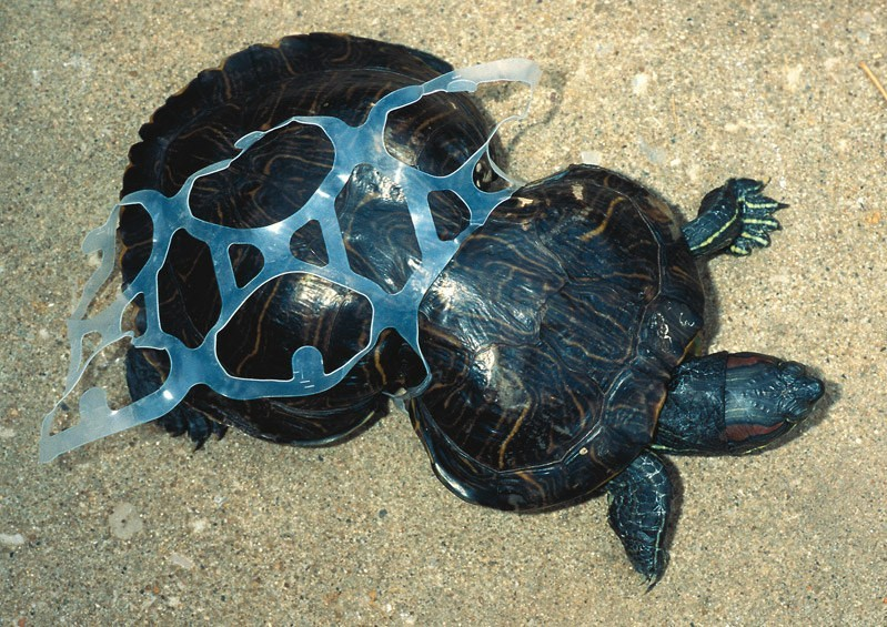 Plastic rings on turtle