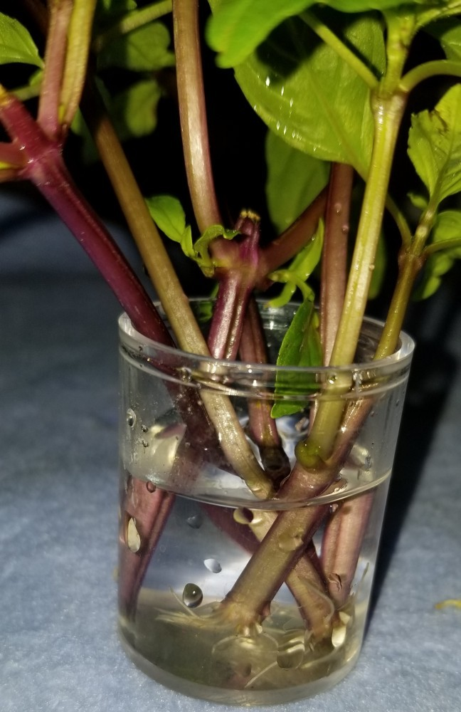 Rooting stems