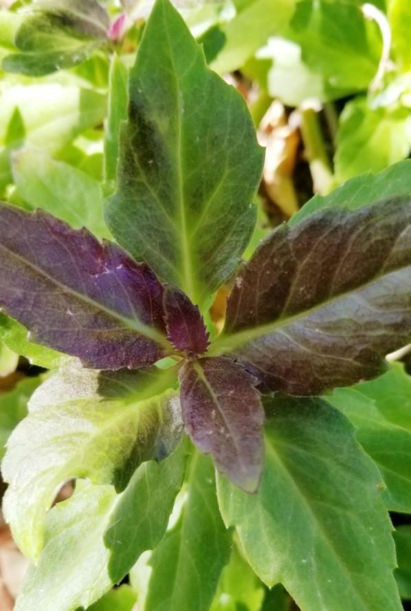 Purple Okinawa spinach