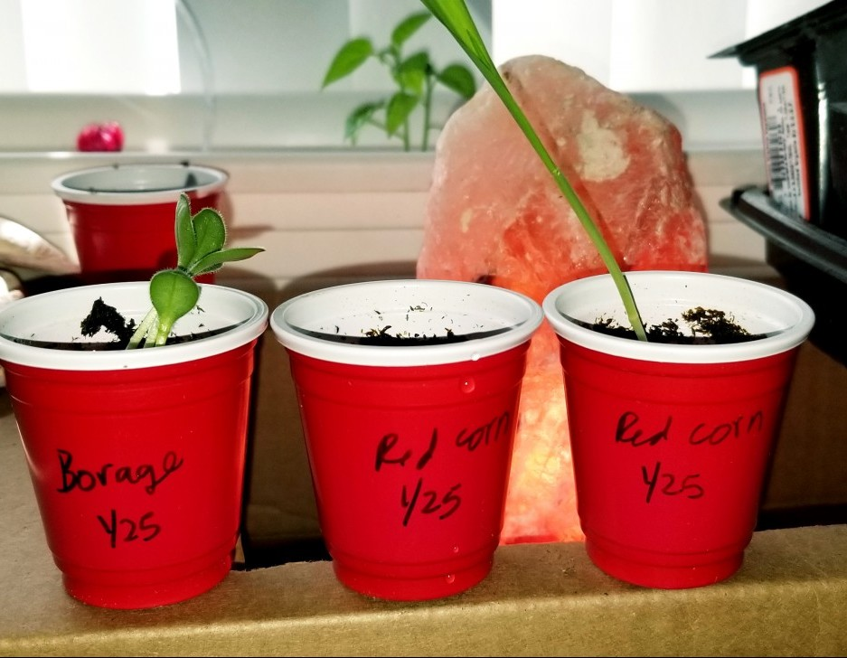 Red one-shot solo cups for starting seeds