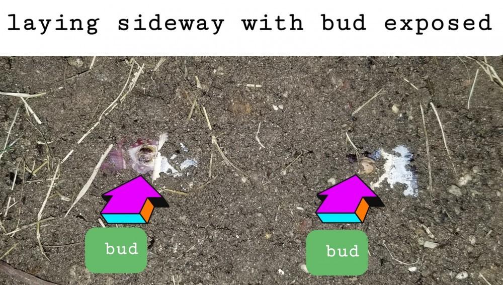 Bud exposed