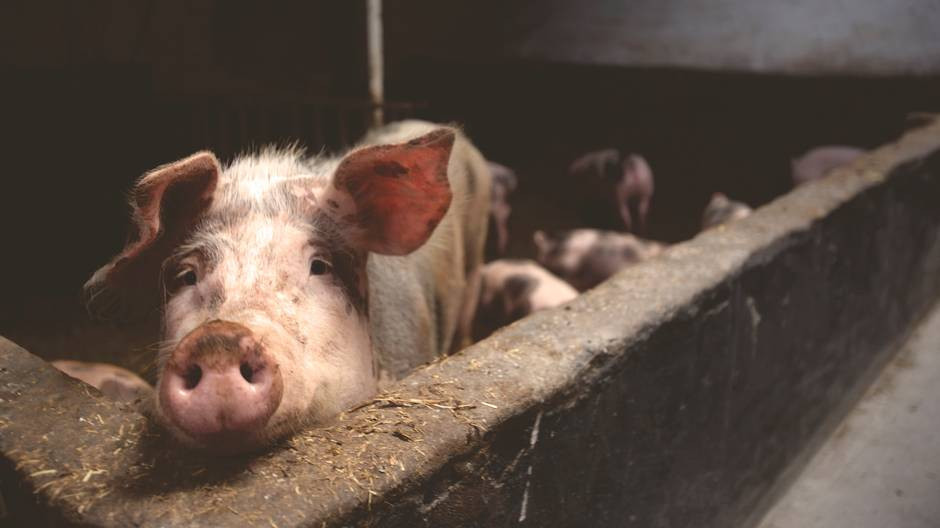 Porcine Is The Cheapest Collagen Source