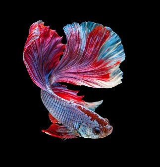 betta fish close up