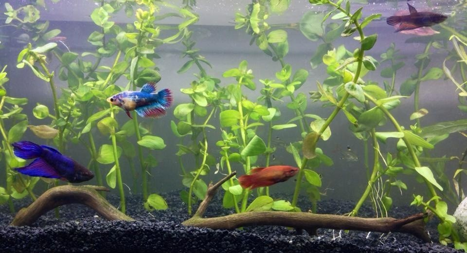 female bettas in well planted fish tank