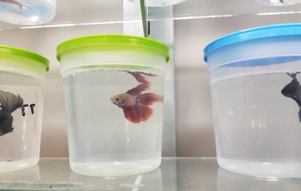betta fish sold in pet stores