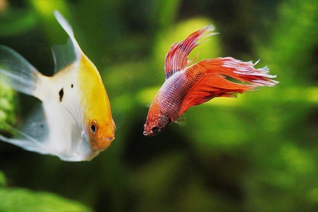 betta fish with angel fish