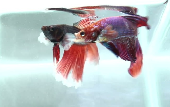 male betta fish fighting