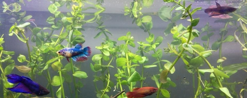 female betta fish sorority