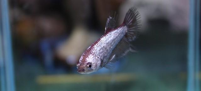 native betta fish