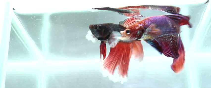 betta fish fight