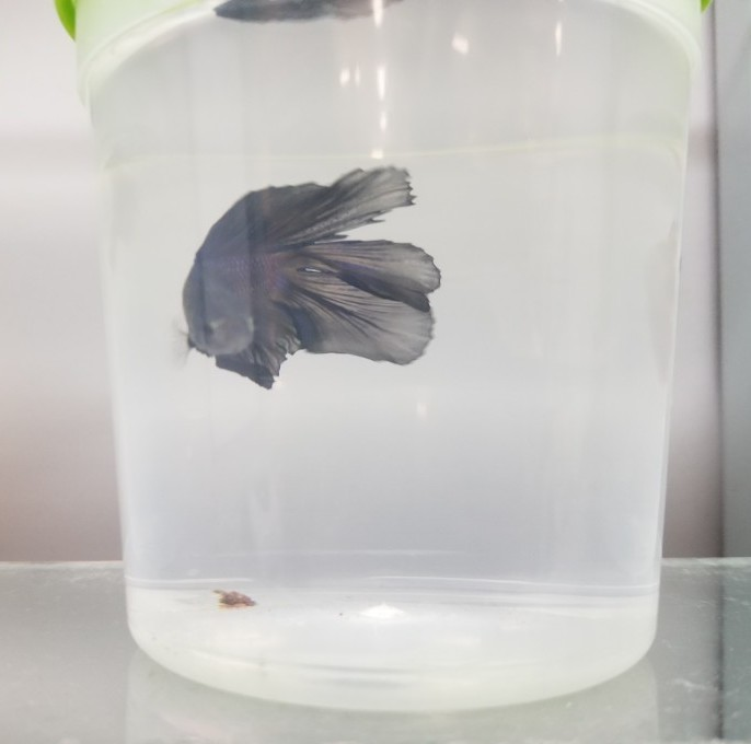 small betta container in pet stores