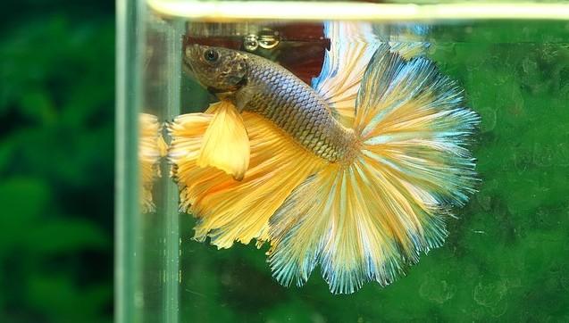 half sun betta fish
