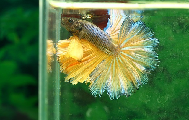 suntail betta fish