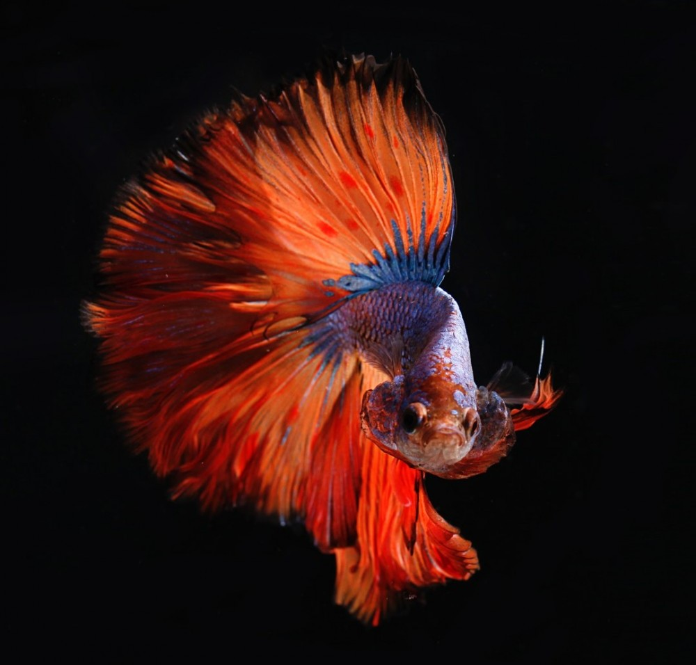 angry male betta fish flaring gills