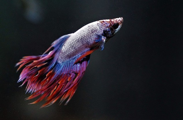 crown tail male betta fish