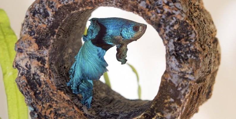 betta fish resting