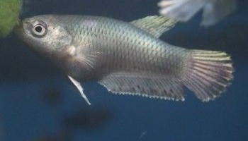 swim bladder disorder betta fish