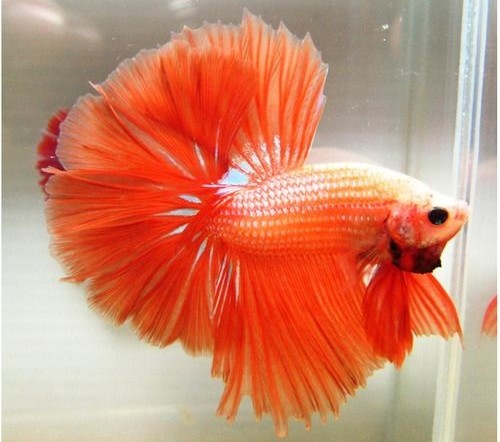 beautiful fantail betta