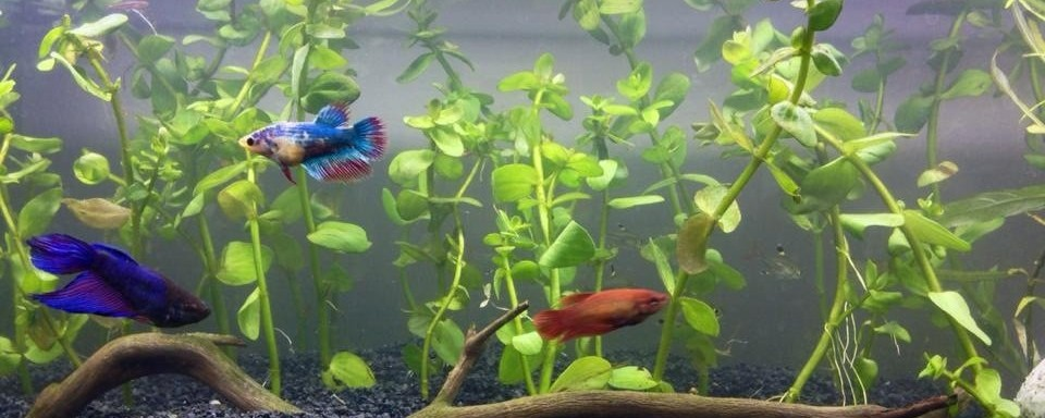 female sorority living peacefully in betta fish tank