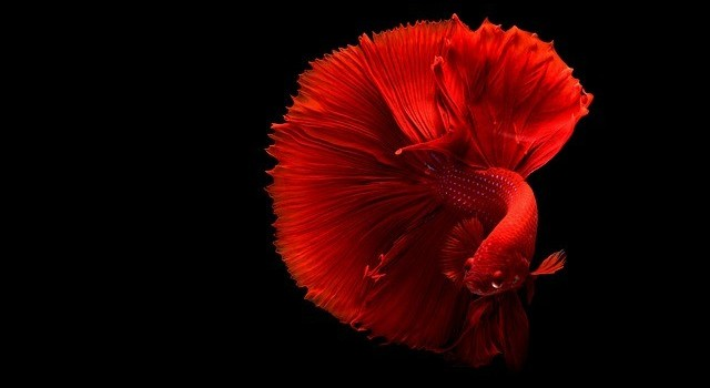 beautiful rosetail betta fish